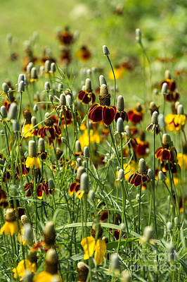 Photograph - Mexican Hat Wildflowers by Jim McCain