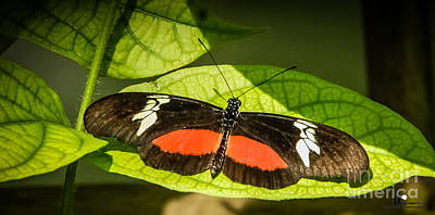 Photograph - Mexican Heliconian Butterfly by Grace Grogan