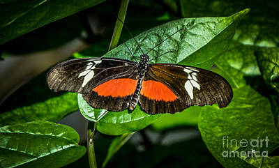 Photograph - Mexican Heliconian by Ronald Grogan