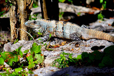 Photograph - Mexican Iguana by Jason Politte