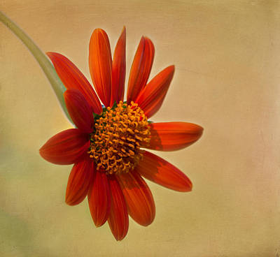 Mexican Orange Sunflower Art Print by Kim Hojnacki
