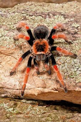 Tarantula Photograph - Mexican Painted Leg Tarantula by David Northcott