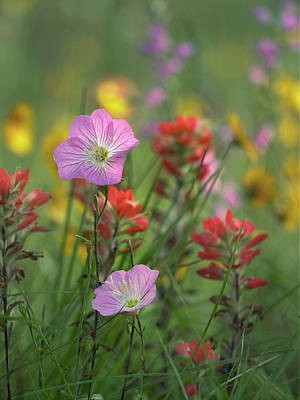 Primrose Photograph - Mexican Primrose And Paintbrushes by Tim Fitzharris