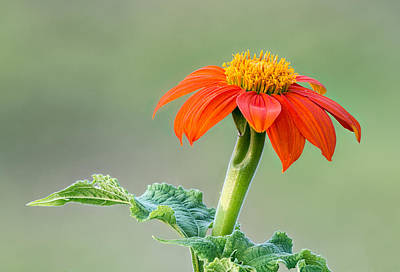 Photograph - Mexican Sunflower by Jim Zablotny