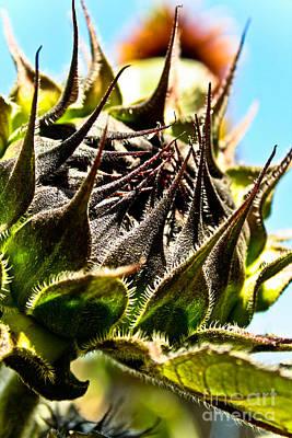 Photograph - Mexican Sunflower by Joel Loftus