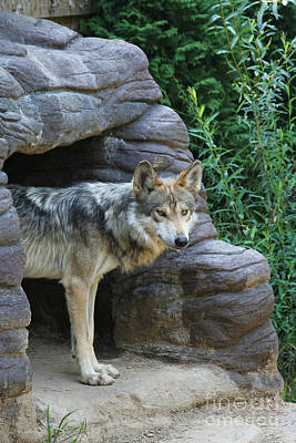 Mexican Wolf #2 Art Print