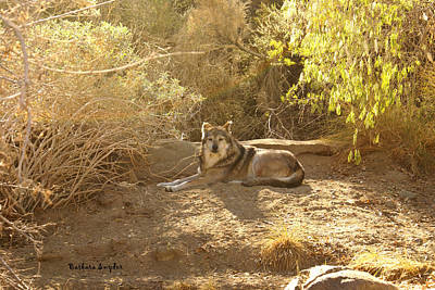Mexican Wolf Digital Art - Mexican Wolf  by Barbara Snyder