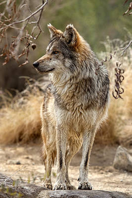 Robert Jensen Photograph - Mexican Wolf by Robert Jensen