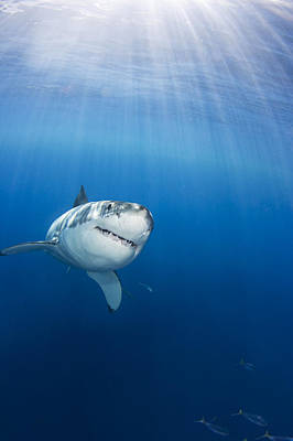Mexico, Great White Shark Carcharodon Art Print by Dave Fleetham