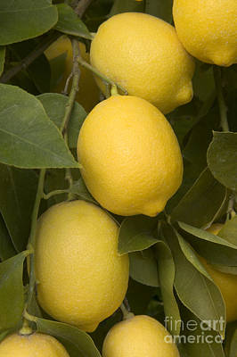 Photograph - Meyer Lemons On A Branch by Inga Spence