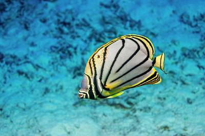 Meyer's Butterflyfish Art Print by Georgette Douwma