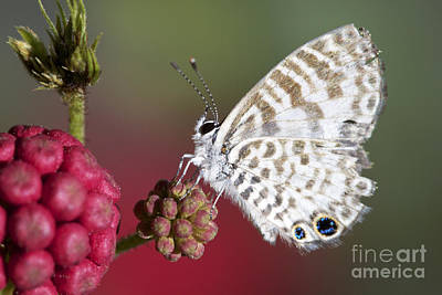 Miami Blue Butterfly I Print by Pamela Gail Torres
