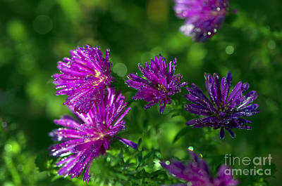 Photograph - Michaelmas Daisy With Drops by Sharon Talson