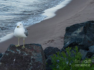 Pineapple - Michigan Gull on Rock by Deborah Smolinske