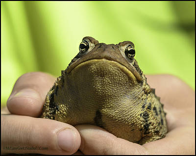 Photograph - Michigan Toad That Almost Got Away by LeeAnn McLaneGoetz McLaneGoetzStudioLLCcom