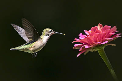 Photograph - Mid Air Hummingbird by Christina Rollo