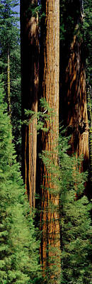 Mid Section Of Giant Sequoia Trees Art Print