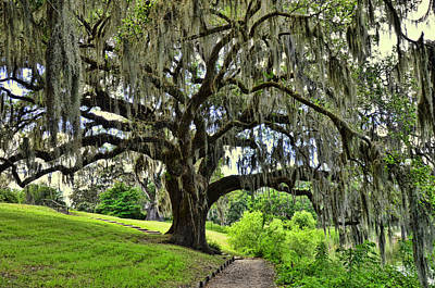 Photograph - Middleton Place Oak  by Allen Beatty