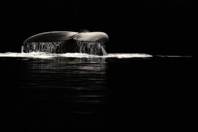 Humpback Whale Photograph - Midnight Humpback by Janet Fikar