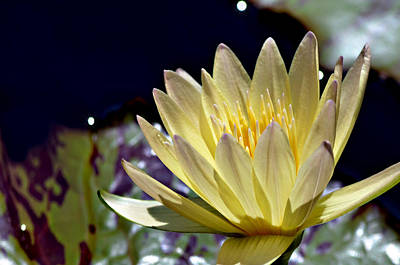 Traquil Photograph - Midnight Lily 2 by Julie Palencia