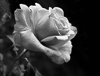 Midnight Rose In Black And White Art Print