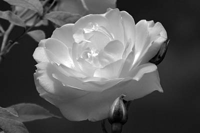 Photograph - Midnight Rose. by Terence Davis