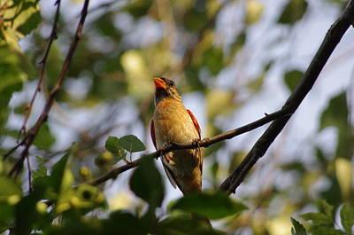 Photograph - Midsummer Cardinal  by Walter  Holland