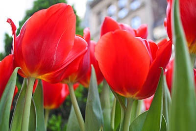 Photograph - Midtown Tulips by Zev Steinhardt