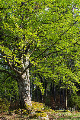 Sweden Photograph - Mighty Beech by Kennerth and Birgitta Kullman