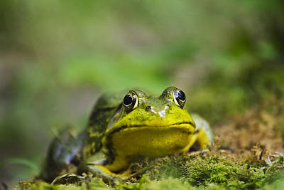 Photograph - Mighty Green Frog by Christina Rollo