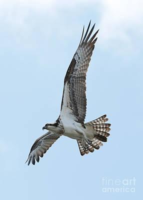 Photograph - Mighty Osprey by Carol Groenen
