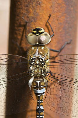 Photograph - Migrant Hawker Dragonfly Closeup by Mick House