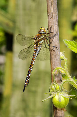 Photograph - Migrant Hawker Dragonfly by Mick House