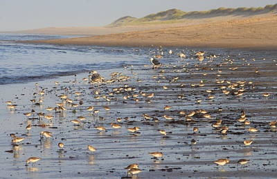 Photograph - Migrating Shorebirds At Cape Cod National Seashore by John Burk