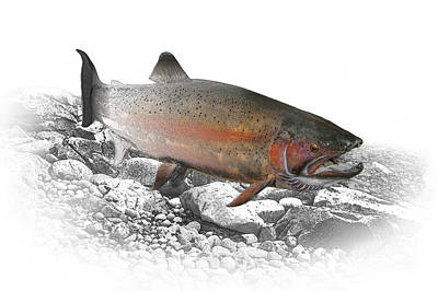 Randall Nyhof Royalty Free Images - Migrating Steelhead Rainbow Trout Royalty-Free Image by Randall Nyhof