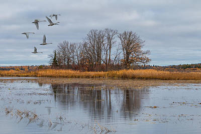 Photograph - Migrating Swans by Patti Deters