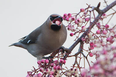 Photograph - Migrating Waxwings Arrive In The Uk by Dan Kitwood