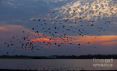 Photograph - Migration Of The American Coot by Elizabeth Winter