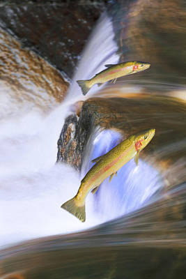 Fish Out Of Water Photograph - Miigrating Steelhead Salmon Leaping by Thomas Kitchin & Victoria Hurst