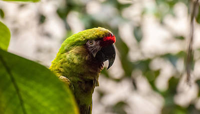 Photograph - Military Macaw by Bianca Nadeau