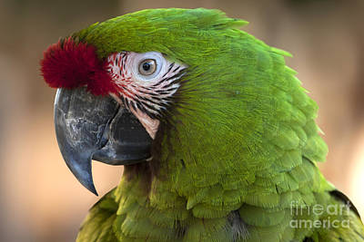 Photograph - Military Macaw  by Meg Rousher