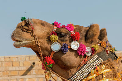 Dromedary Photograph - Military On Decorated Camels by Tom Norring