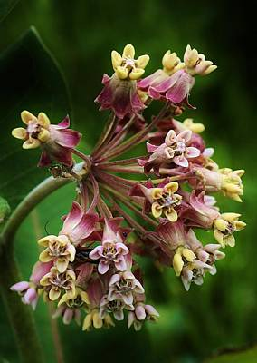 Photograph - Milkweed Blossoms by Bruce Bley