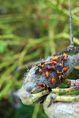 Digital Art - Milkweed Bug On Milkweed Pod by Eva Kaufman