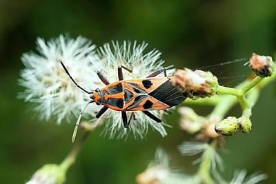 Milkweed Photograph - Milkweed Bug by Pan Xunbin
