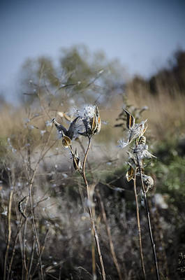 Photograph - Milkweed by Eric Miller