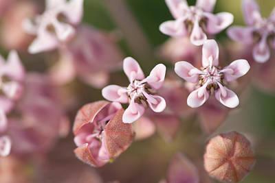 Photograph - Milkweed Flowers by Bernard Lynch