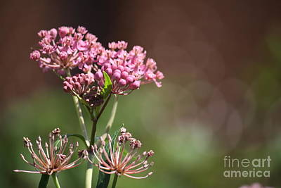 Photograph - Milkweed by Mary-Lee Sanders