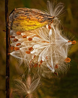 Photograph - Milkweed Pod And Seeds In Autumn by Randall Nyhof