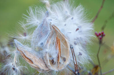 Photograph - Milkweed Puff by Lynn Bauer